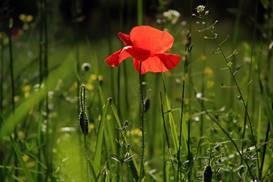 En bild på en röd blomma på en somrig äng